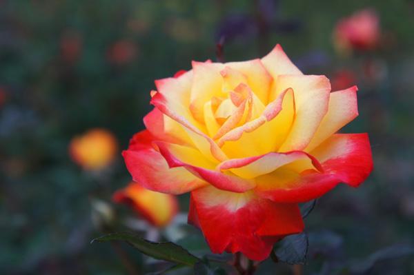 Rose Charleston