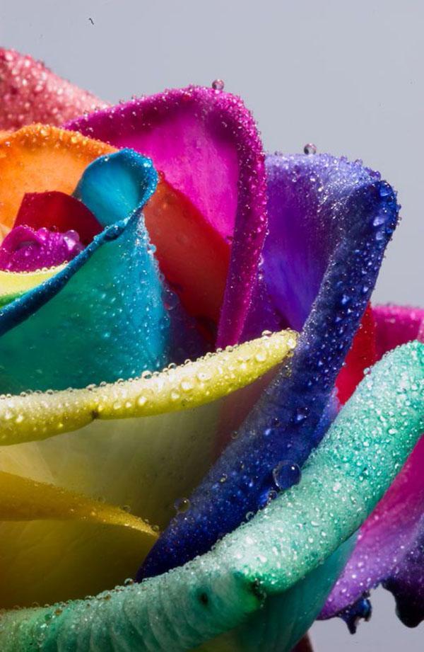 Wet Rainbow Rose