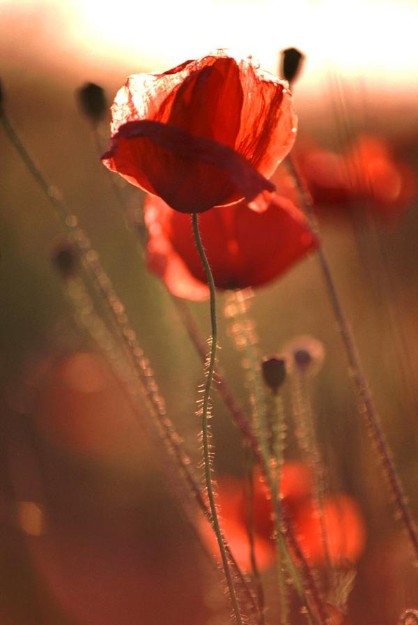 Poppy flower picture