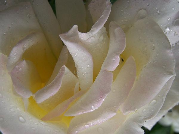 White Rose with raindrops picture