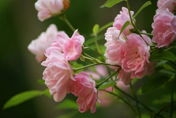 The beauty of pink flowers art and design pink fairy rose the beauty of pink flowers 3 3 mightylinksfo