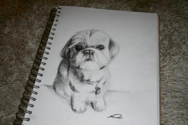 SHIH TZU A commissioned piece traditional drawing of a shih tzu.